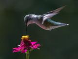 _MG_0914 Hummingbird over zinnia