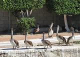 Cabo San Lucas Pelicans