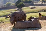 Rhinos at Trough