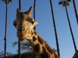 Bills Giraffe