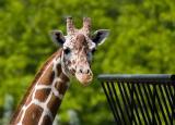 _MG_2012 Giraffe
