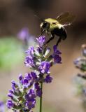 _MG_0172 Bee on Thyme
