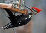 _MG_1176 Male Pileated Woodpecker