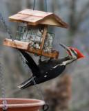 _MG_1180 Male Pileated Woodpecker