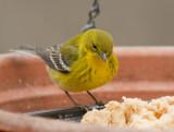 _MG_2910 Pine Warbler