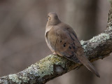 _MG_3094 Mourning Dove Outside