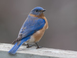 _MG_0808 Bluebird hears click