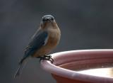 _MG_3274 Early Evening Mrs Bluebird