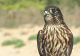 Merlin juvenile female