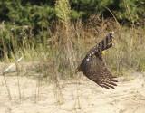 Sharp-shinned Hawk juvenile female