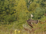 Merlin juvenile male