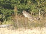 Sharp-shinned Hawk juvenile male