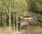 Cooper's Hawk adult male