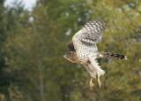 Cooper's Hawk juvenile female