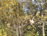 Sharp-shinned Hawk adult female