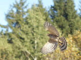Sharp-shinned Hawk juvenile female