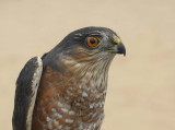 Sharp-shinned Hawk adult male