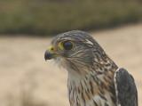 Merlin adult male