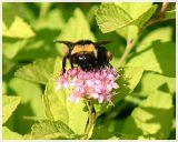 Bumblebee(2)