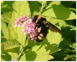 Bumblebee(3)