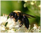 Bumblebee(4)