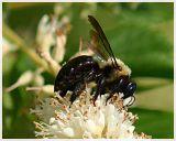 Bumblebee(5)