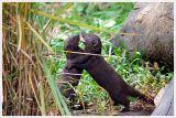 Dwarf Mongoose Fighting