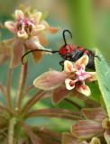 milkweed-bug