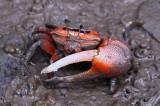 Fiddler Crab (招潮蟹)