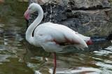 Greater Flamingo (1)
