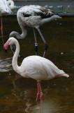 Greater Flamingo (2)