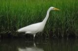Great Egret (大白鷺)