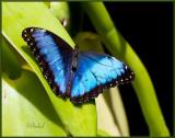 Blue Morpho in the Sun & Shade