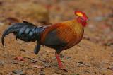 Ceylon Junglefowl (Gallus lafayetii) Male