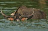 Water Buffalo (Bubalus arnee)