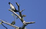 Amani Sunbird (Hedydipna pallidigaster)
