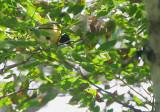 Clarke's Weaver male