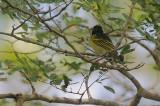 Clarkes' Weaver male -wingpanel view