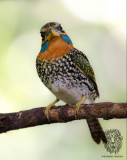 Spotted Wood-Kingfisher (male)