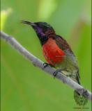 Purple-throated Sunbird (Nectarinia sperata)