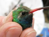 Montrose, AL Broad-billed Hummingbird