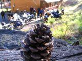 cabin-pine-cone.jpg