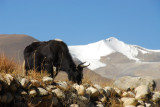 Yak with a snow capped mountain, km 71, just prior to Quzong Hamlet