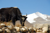 Yak with a snow capped mountain and glacier