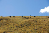 Yaks grazing high on the mountain side