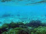 Reef needlefish (Strongylura incis) Tumon Bay