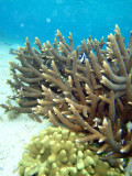 Staghorn coral, Tumon Bay