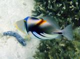White-barred triggerfish (Rhinecanthus aculeatus)