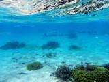 Reef needlefish (Strongylura incis) swiming near the surface, Tumon Bay