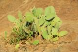 Prickly pear cactus, Axum